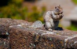 Squirrel il cibo della nocciola su un recinto della roccia Fotografia Stock