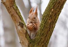 Squirrel il cibo della noce Immagini Stock Libere da Diritti