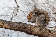 Squirrel il cibo su un albero, al Central Park, NYC immagini stock libere da diritti