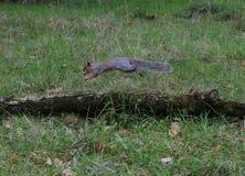 Squirrel il salto sopra un ramo, il parco di unico nato, Swansea, Regno Unito Fotografie Stock
