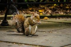 Squirrel image. Shooting location :  Manhattan, New York royalty free stock photo