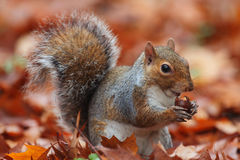 Squirrel In Autumn Stock Photos