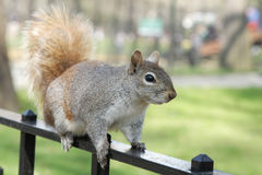 Squirrel In Central Park, NYC Royalty Free Stock Photos