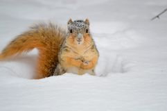 Free Squirrel In Snow Stock Photo - 142239580