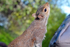 Free Squirrel In St James Park Royalty Free Stock Images - 19168299