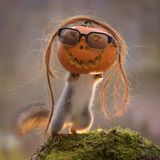 Squirrel inside pumpkin with sunglasses Stock Images