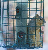 Squirrel Inside A Sqirrel Proof Birdfeeder. This image shows a squirrel inside what is called a squirrel proof bird feeder Stock Photos