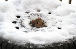 A squirrel inside a tire Stock Images
