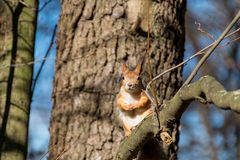 Squirrel. The squirrel is interesting to appear in the photo, high on a tree and not scary Stock Images
