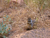 Squirrel inZion National Park In Utah USA Royalty Free Stock Photo