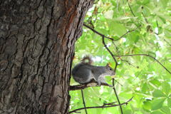 Squirrel on its branch. Scene captured in green park Stock Images