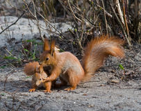 Squirrel and its joey Stock Images