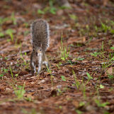 Squirrel with its tail up Royalty Free Stock Images