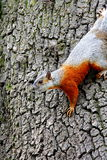 Squirrel IV Royalty Free Stock Photo