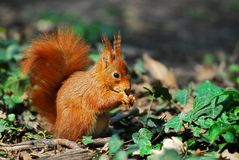 Squirrel in the ivy Royalty Free Stock Photo