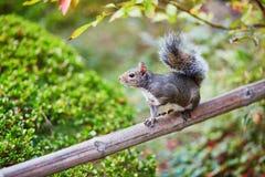 Squirrel in Japanese garden in San Francisco, California, USA Stock Photo
