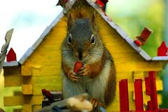 Squirrel Joins for Breakfast Royalty Free Stock Images