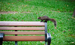 Squirrel. Jumping onto the chair in the park royalty free stock photos