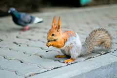 Squirrel jumps next to the dove Royalty Free Stock Image
