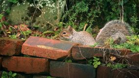 Squirrel Jumps Over Garden Wall stock footage