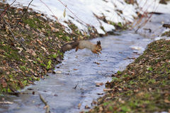 Squirrel jumps over a stream. Stock Image