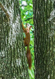 Squirrel jumps in the summer forest. Squirrel jumps in the summer green forest stock image