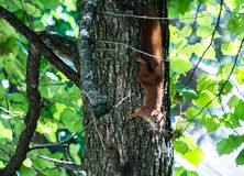 Squirrel jumps in the summer forest. Squirrel jumps in the summer green forest Stock Photo