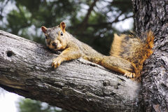 Squirrel. Just a Squirrel getting comfortable on a tree Royalty Free Stock Photos