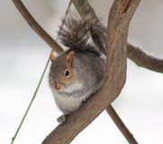 Squirrel. Just got to love squirrels Royalty Free Stock Images