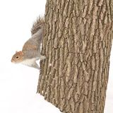 Squirrel. Just got to love squirrels Royalty Free Stock Image