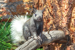 Squirrel - Kaibab. Curious Young White Tailed Kaibab Squirrel Looking Down From Ponderosa Pine Tree Royalty Free Stock Images