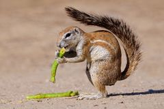 Squirrel, Kalahari, South Africa Royalty Free Stock Photo