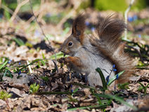 Squirrel keeping something  at hands  at the blue flowers at. Squirrel keeping something  at the hands  at the blue flowers at forest Royalty Free Stock Photo