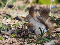 Squirrel keeping something  at hands  at the blue flowers at. Squirrel keeping something  at the hands  at the blue flowers at forest Royalty Free Stock Photography