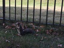 A squirrel in Kensington Garden. Is asking for food Stock Photo