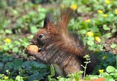 Squirrel l'alimentazione Immagini Stock Libere da Diritti