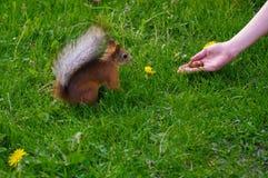 Squirrel l'alimentazione dalla mano su un medow verde Fotografie Stock