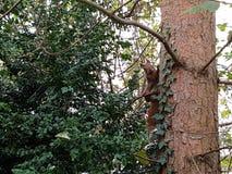 Squirrel l'attaccatura sul sito di un albero Fotografia Stock