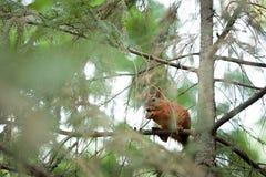 Squirrel la foresta divertente di autunno degli animali domestici della pelliccia rossa sul roditore vulgaris dello Sciurus temat Fotografia Stock Libera da Diritti