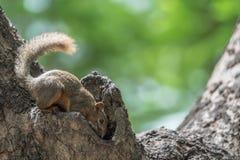 Squirrel la prova di duck nella cavità di un albero Immagine Stock Libera da Diritti