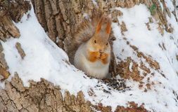 Squirrel la seduta nell'albero ed il cibo dei semi Fotografia Stock