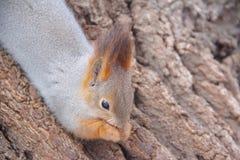 Squirrel la seduta nell'albero ed il cibo dei semi Immagini Stock Libere da Diritti
