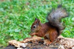 Squirrel la seduta su un ceppo di albero in Catherine Park Immagine Stock Libera da Diritti