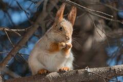 Squirrel quel eateth sui dadi Fotografie Stock