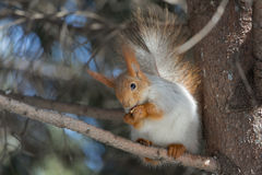 Squirrel quel eateth sui dadi Fotografia Stock