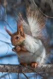 Squirrel quel eateth sui dadi Immagine Stock Libera da Diritti