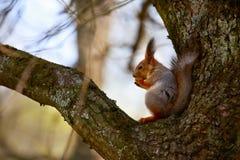 Squirrel la seduta sull'albero ed il cibo della nocciola Fotografia Stock