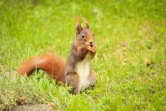 Squirrel la seduta sulla terra che mangia una nocciola Immagini Stock Libere da Diritti