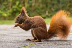 Squirrel la seduta sulla terra che mangia una nocciola Immagine Stock