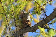 Squirrel on a larch in the autumn afternoon Stock Images